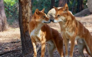 Dogs and Dingoes Are Not Boning