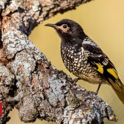 Regent honeyeater: Endangered bird 'has forgotten its song'